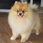 כלב מסוג פומרניין
