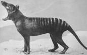 The last Tasmanian tiger alive