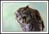 Screech owl coughing up pellet