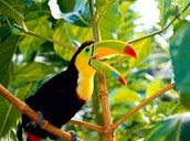 This is a Toucan that lives in the Amazon Jungle.