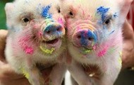 pigs covered in paint
