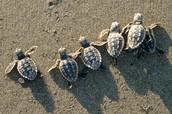 Baby Sea turtle hatchlings