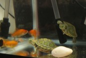 Turtles and fish
