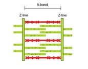 A sarcomere when the muscle is completely contracted