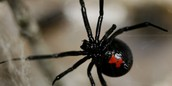 How meany babys can a black widow have ?