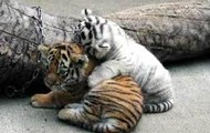 Our two baby tigers, Crystal and Caramel!