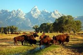 Buffalo in the Grand Tetons