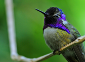 The Costa's Hummingbird