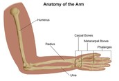 the bones of the arm