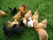 Want to raise chickens in your own backyard?