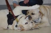 Morgan and Dentin, Labrador Retrievers