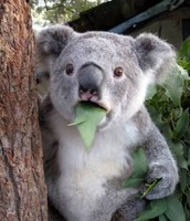 It is estimated that,of the eucalyptus growing when white settlement started,over 80% have disappeared.🐨