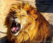 The lion is mad