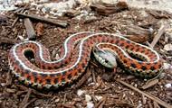 garter snake on dirt