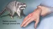 How Rabies Spread