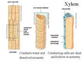 Xylem Plant
