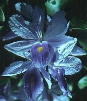 Bluish-Purple Petals