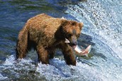 Kodiak Bears Can Be Amazing Hunters