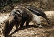 http://animals.nationalgeographic.com/animals/mammals/giant-anteater/