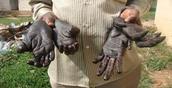 Chimpanzee hands & feet cut off for black market sells.
