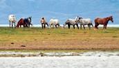 Argentina's cattle