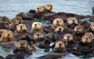 Group of Otters