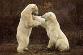 polar bear baby fight