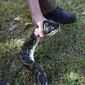 snake being handled by wires operators.