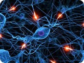 Neurons (nerve cells) :