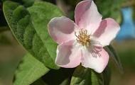 Flor del membrillo rosa