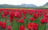 Our Tulips