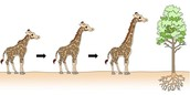 For A Giraffe To Be Fit In A Natural Selection: