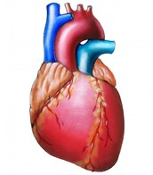 SCIENCE SATURDAY: All About Hearts