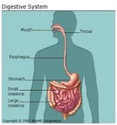 The Main and other  parts of the body in the digestive system and where is it located