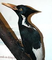 Ivory-billed woodpecker: Female
