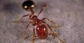 Regular Ants