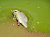 Algal blooms affect on fish.