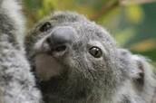 koala child?