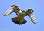 The peregrine falcon  ready to dive