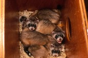 These are baby black footed ferrets
