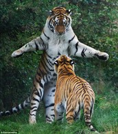 Tiger on it's hind legs