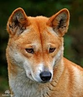 What is the name of this wild Australian dog?