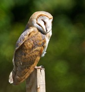 A Barn Owl sleeping during the day