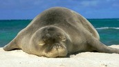 Mother Hawaiian Monk seal