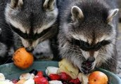 Raccoons are omnivores