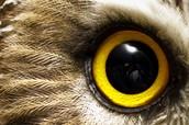 huge owl eyes