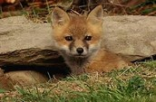A red fox baby will grow up in the den