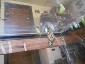 Monarch Butterfly and chrysalises