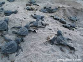 Baby sea turtles going to the ocean