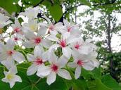 關於桐花祭(由來)